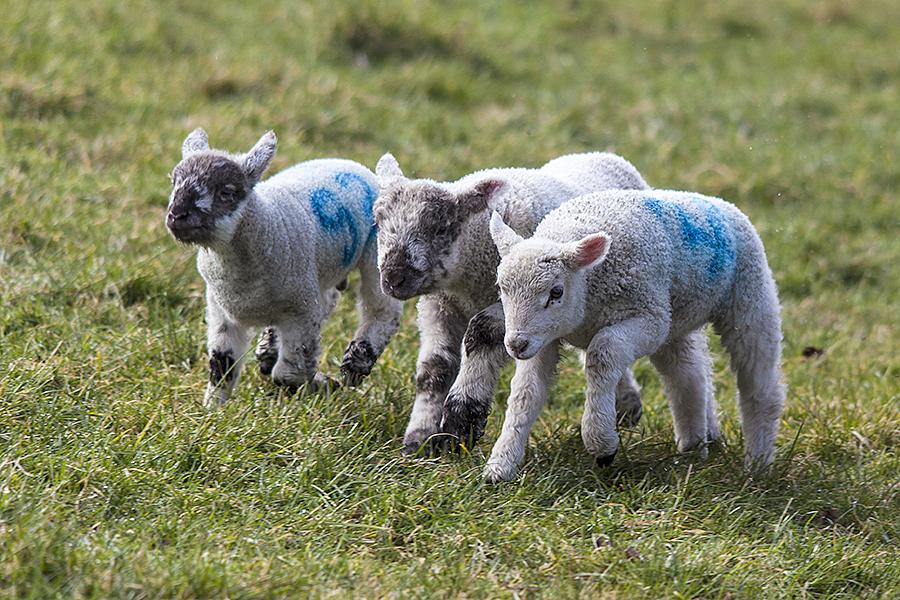 Lambs at Goodwood this morning, enjoying a bright brisk morning.